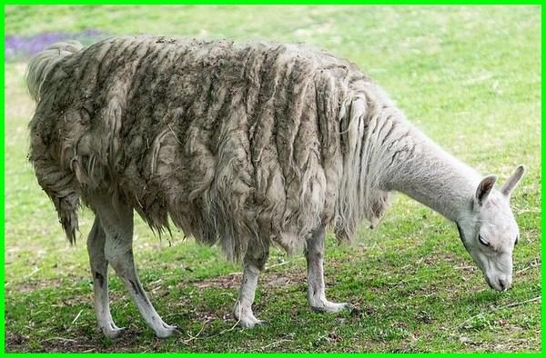 deskripsi hewan llama, apa itu hewan llama, hewan llama adalah, gambar hewan llama, harga hewan llama, jual hewan llama, makanan hewan llama, asal hewan llama, foto hewan llama, llama hewan wallpaper