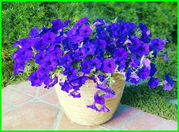 Petunia, bunga petunia, bunga petunia warna biru