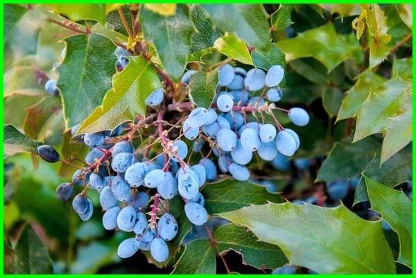 Tanaman pagar yang bisa menghasilkan buah enak