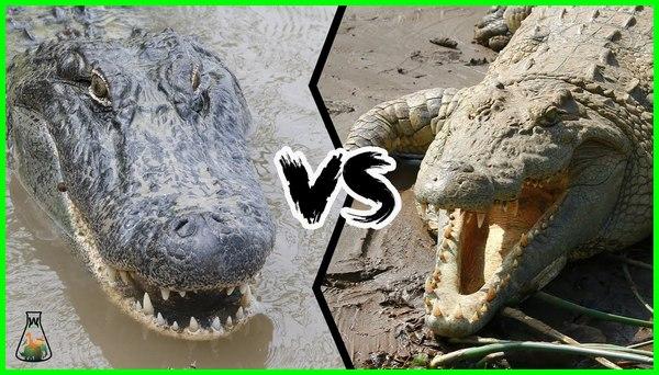 buaya vs aligator, aligator dan buaya apa bedanya, apakah aligator dan buaya sama, perbedaan alligator dan buaya terlihat dari bentuk, aligator vs buaya
