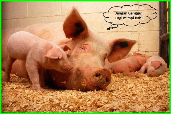 Arti mimpi tangkap babi kecil togel