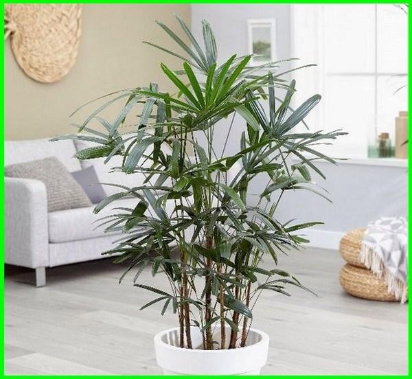 jenis pohon dalam ruangan, pohon palem dalam ruangan, tanaman palem dalam ruangan