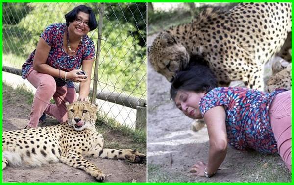 apa makanan cheetah, apa arti cheetah, apakah cheetah berbahaya, apa cheetah itu, cheetah apa artinya