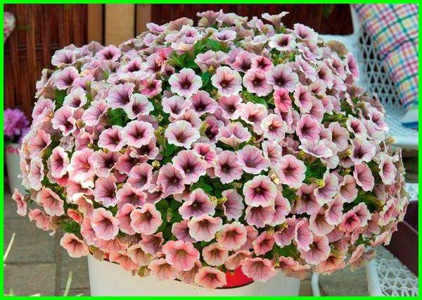 jenis bunga petunia, jenis tanaman petunia, nama jenis petunia, jenis bunga gantung petunia, macam macam jenis bunga petunia, macam bunga petunia, jenis jenis bunga petunia, macam macam bunga petunia