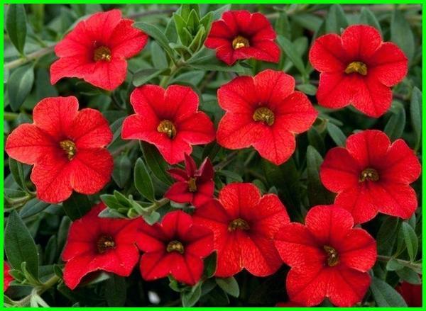 bunga petunia warna merah, Potunia Plus Red