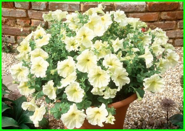 jenis bunga gantung petunia, gambar bunga petunia, jenis bunga petunia, jenis2 bunga petunia, tanaman bunga petunia, tentang bunga petunia, tipe bunga petunia