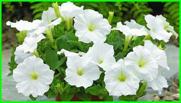 Bunga petunia putih, bunga petunia warna putih, jenis-jenis bunga petunia