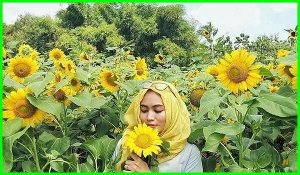 foto di taman bunga matahari,caption di taman bunga matahari, wahana di taman bunga matahari, foto di kebun bunga matahari, gaya foto di taman bunga matahari, mimpi di kebun bunga matahari, foto taman bunga matahari, taman bunga matahari jawa timur