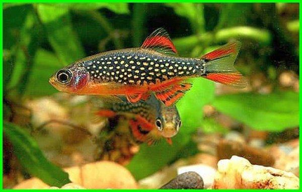 gambar ikan hias kecil, gambar ikan hias kecil air tawar, ikan hias kecil kecil, nama2 ikan hias kecil
