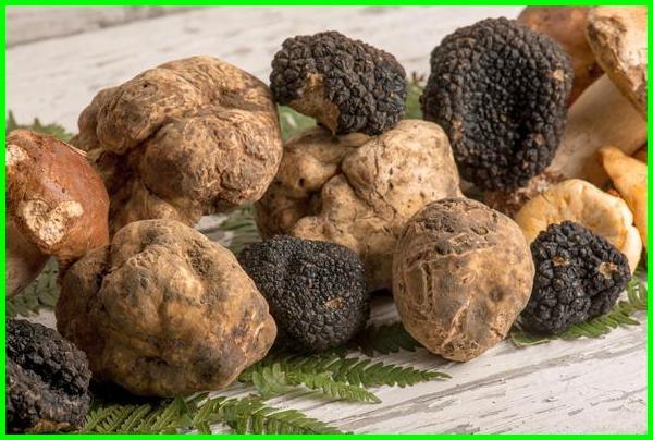 jamur truffle putih, jamur truffle hitam, jamur truffle termahal di dunia, jamur truffle wikipedia, jamur truffle berasal dari, jamur truffle harga, asal jamur truffle, apakah jamur truffle halal, apa jamur truffle, budidaya jamur truffle putih, ciri jamur truffle, ciri ciri jamur truffle, ciri-ciri jamur truffle, jamur white truffle di indonesia, gambar jamur truffle