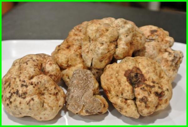 kenapa jamur truffle mahal, apa itu jamur truffle,apakah jamur truffle ada di indonesia, apakah jamur truffle halal, apa rasa jamur truffle, seperti apa rasa jamur truffle, apa yang dimaksud dengan jamur truffle, apa jamur truffle, bagaimana rasa jamur truffle, berapa harga jamur truffle, harga jamur truffle, asal jamur truffle, mengapa jamur truffle mahal, nama latin jamur truffle