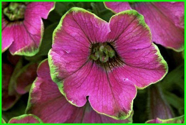 aneka bunga petunia, deskripsi bunga petunia, foto bunga petunia, gambar bunga petunia, jenis bunga petunia, jenis2 bunga petunia, Bunga Petunia Limelight