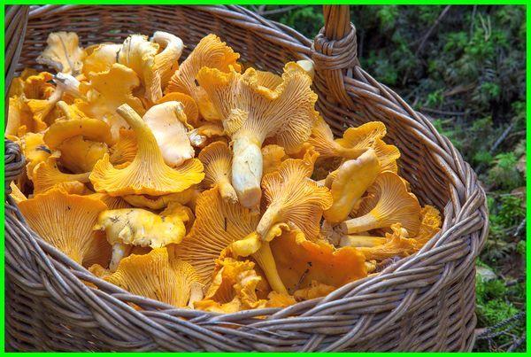 jamur paling mahal, jamur paling mahal di dunia, jamur yang berharga mahal, jamur langka dan mahal, jamur yang harganya mahal, jamur yg harganya mahal, jenis jamur paling mahal, jamur yang paling mahal, jamur yg paling mahal, jamur termahal