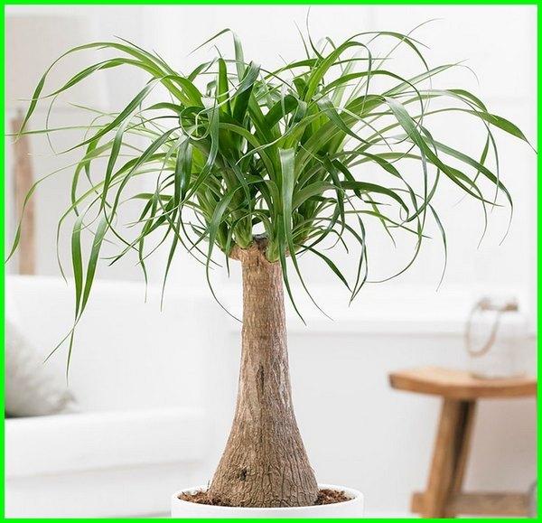 pohon dalam ruang tamu, pohon di dalam ruangan, pohon hias dalam ruangan, jenis pohon dalam ruangan