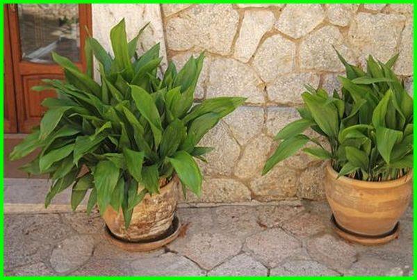 tanaman tanpa sinar matahari, tanaman tanpa sinar matahari langsung , tanaman hias tanpa matahari, tanaman merambat tanpa matahari, jenis tanaman tanpa matahari