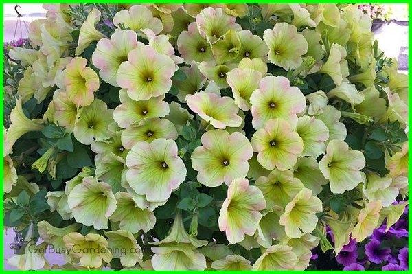 bunga petunia double, bunga petunia di indonesia, aneka bunga petunia, benih bunga petunia, foto bunga petunia, jenis bunga gantung petunia, bunga petunia kuning dan merah muda
