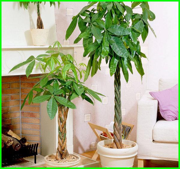 pohon hiasan ruang tamu, pohon hias ruang tamu, pohon di ruang tamu