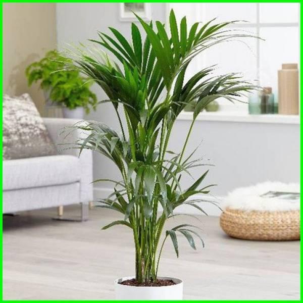 pohon dalam ruangan, pohon penyejuk ruangan, pohon di dalam ruangan, pohon untuk dalam ruangan, pohon untuk didalam ruangan, pohon hias dalam ruangan, Pohon Palem kentia - Kentia Palm (Howea Forsteriana)