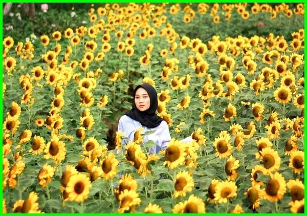 taman bunga matahari bandung, taman bunga matahari di bandung, taman bunga matahari lembang bandung, taman bunga matahari paris van java bandung, taman bunga matahari bandung 2018-2019-2020-2021, taman bunga matahari bandung 2016