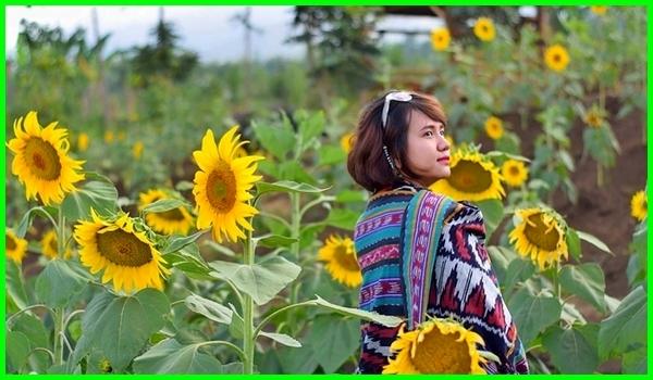 di kebun bunga matahari, foto di taman bunga matahari, caption di taman bunga matahari, foto di kebun bunga matahari, taman bunga matahari jawa timur, 5 taman bunga matahari