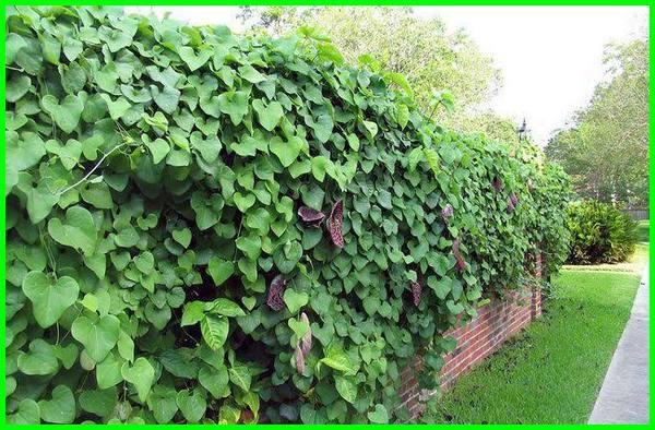 tanaman merambat utk pagar, tanaman rambat untuk pagar besi, tanaman rambat pagar, tanaman rambat pagar besi, tanaman rambat pagar rumah, tanaman merambat untuk pagar, tanaman merambat di pagar, tanaman merambat di pagar besi, tanaman merambat untuk pagar rumah