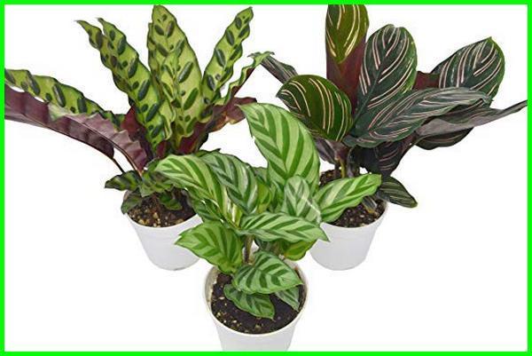 tanaman indoor tanpa matahari, tanaman merambat tanpa matahari, jenis tanaman tanpa matahari, pohon tanpa sinar matahari, tumbuhan tanpa sinar matahari