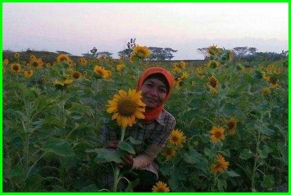 kebun bunga matahari indonesia, taman bunga matahari jogja kaliurang, taman bunga matahari jogja tiket masuk, taman bunga matahari jogja sleman