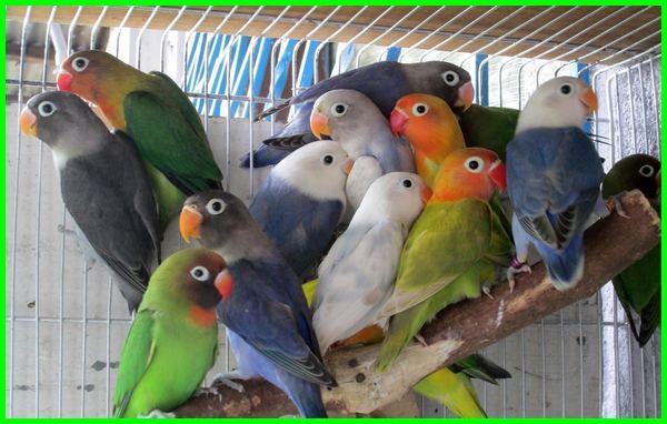 makanan lovebird di habitat aslinya, makanan kesukaan lovebird, makanan favorit labet, makanan labet juara, makanan lovebird terbaik, makanan lovebird di alam bebas, makanan lovebird ternak, jenis makanan lovebird dan fungsinya, makanan gemukin lovebird, makanan harian lovebird lomba, makanan favorit lovebird