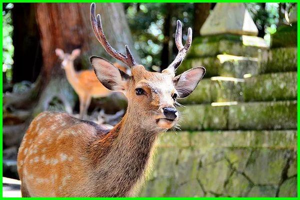 fauna khas jepang, hewan khas negara jepang, hewan ciri khas jepang, hewan khas di jepang, gambar hewan khas jepang