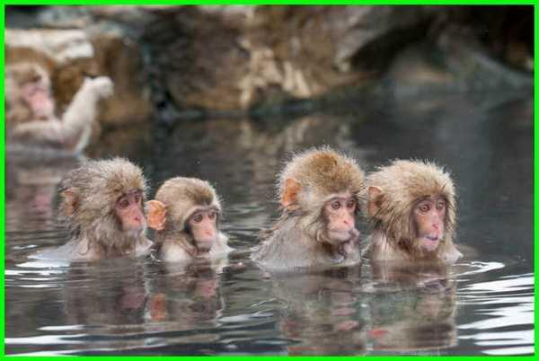 hewan ciri khas jepang, hewan khas di jepang, gambar hewan khas jepang