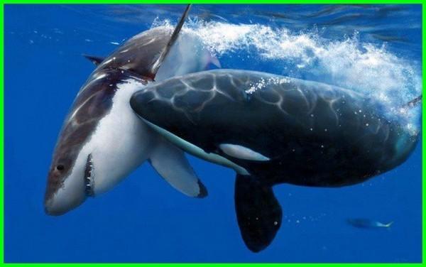 hiu vs paus menang mana, hiu vs paus siapa yang menang, pertarungan hiu vs paus pembunuh, pertarungan ikan hiu vs paus, ikan hiu vs ikan paus, video ikan hiu vs ikan paus, hiu putih raksasa vs paus pembunuh