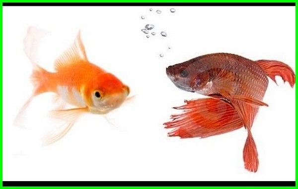 ikan cupang dengan maskoki, ikan cupang dengan koki, Mencampur ikan cupang dengan ikan lain, bolehkah mencampur ikan cupang, cara mencampurkan ikan cupang, ikan cupang dengan ikan lain