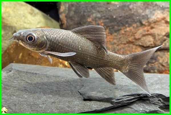 ikan hias air tawar mirip hiu, ikan hias air tawar seperti hiu, budidaya ikan hiu hias, jual beli ikan hiu hias, harga ikan hiu air tawar, ikan hias mirip ikan hiu, ikan hias air tawar yang mirip hiu, macam macam ikan hiu hias, ikan hiu tawar hias