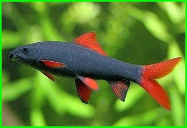 ikan yang mirip hiu, ikan yg mirip hiu, ikan tawar mirip hiu, ikan aneh mirip hiu