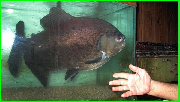 ikan hias umur panjang,ikan hias yang umurnya panjang, ikan hias dengan umur panjang, ikan hias kecil umur panjang, ikan hias yang umur panjang, jenis ikan hias umur panjang
