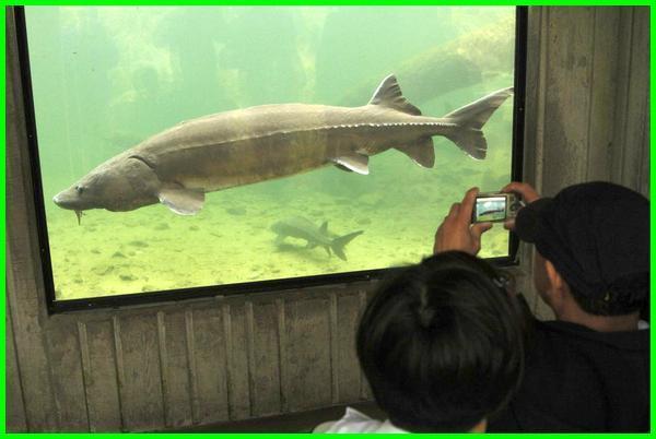 ikan hias yang umur panjang, ikan hias umur panjang, ikan hias yang umurnya panjang, ikan hias dengan umur panjang, ikan hias kecil umur panjang, jenis ikan hias umur panjang, ikan hias air tawar umur panjang, ikan hias paling panjang umur, ikan hias yg panjang umur