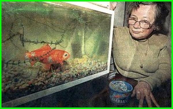 umur ikan mas koki paling lama, umur ikan mas koki paling lama, umur untuk ikan koki