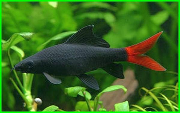 ikan hias mirip hiu, ikan kecil mirip hiu, ikan yang mirip hiu, ikan yg mirip hiu, ikan tawar mirip hiu, ikan air tawar mirip hiu, ikan hias yang mirip hiu, ikan hias mirip ikan hiu, ikan yang mirip ikan hiu