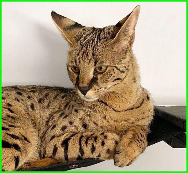 kucing savannah f1, kucing savannah f1 f2 f3, artikel kucing savannah, harga kucing savannah f1, harga kucing savannah di indonesia, gambar kucing savannah, kucing jenis savannah, keunggulan kucing savannah, kelebihan kucing savannah, kucing ras savannah