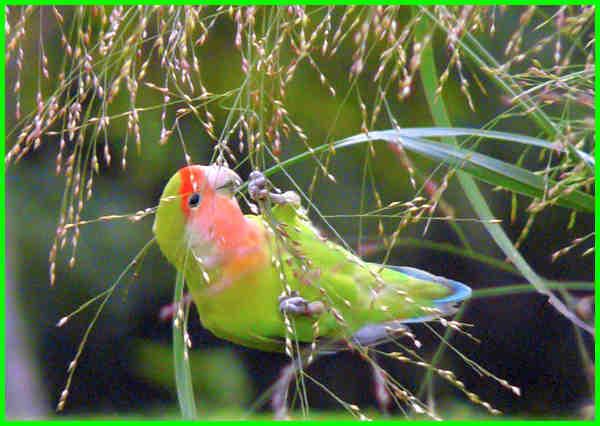 apa saja makanan lovebird, apa saja makanan burung labet, apa saja label makanan, apa saja makanan burung lovebird, apa itu label makanan, apa saja makanan kesukaan lovebird, jenis makanan labet, apa makanan lovebird, apa makanan lovebird biar gacor, apa makanan lovebird anakan, apa makanan burung labet, apakah makanan burung labet, apa makanan labet