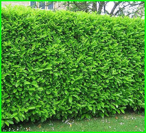 tanaman yg bisa dibentuk, tanaman yang mudah dibentuk, tanaman yang bisa dibentuk huruf
