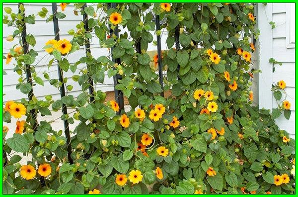 jenis tanaman bunga pagar, tanaman bunga buat pagar, tanaman hias bunga untuk pagar, tanaman bunga merambat pagar, tanaman bunga merambat untuk pagar, tanaman bunga sebagai pagar, tanaman bunga untuk pagar, pagar rumah dari tanaman bunga, jenis bunga tanaman pagar, tanaman bunga warna kuning