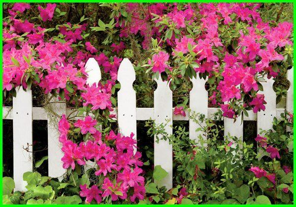 jenis tanaman bunga pagar, tanaman bunga buat pagar, tanaman hias bunga untuk pagar, tanaman bunga merambat pagar, tanaman bunga sebagai pagar, tanaman bunga untuk pagar, pagar rumah dari tanaman bunga, jenis bunga tanaman pagar