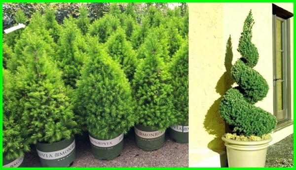 Suka Topiary Inilah 12 Jenis Tanaman Yang Bisa Dibentuk Dunia Fauna Hewan Binatang Tumbuhan Dunia Fauna Hewan Binatang Tumbuhan