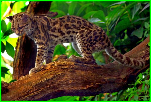 jenis kucing hutan di malaysia, jenis kucing hutan di indonesia, jenis kucing hutan dan harganya, jenis kucing hutan di jawa, jenis kucing hutan yang dilindungi, jenis kucing hutan di dunia, jenis kucing hutan yang tidak dapat dipelihara, jenis kucing hutan indonesia, jenis jenis kucing liar