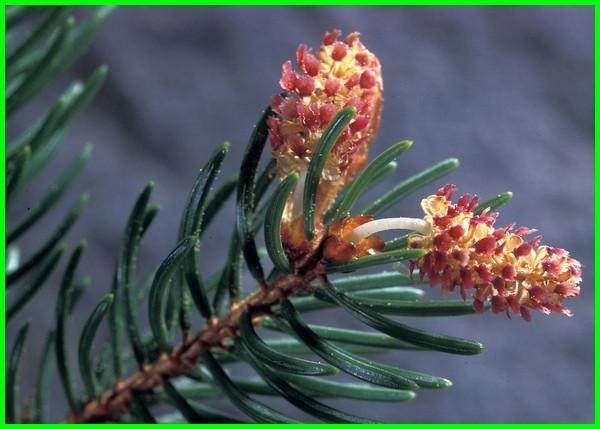berbagai jenis pohon cemara, berapa jenis pohon cemara, contoh jenis jenis pohon cemara, jenis pohon pinus di indonesia, jenis dan nama pohon cemara, gambar dan jenis pohon cemara, foto jenis pohon cemara