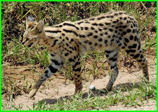 hewan bertelinga panjang, 5 hewan bertelinga panjang, daftar hewan bertelinga panjang, hewan hewan bertelinga panjang