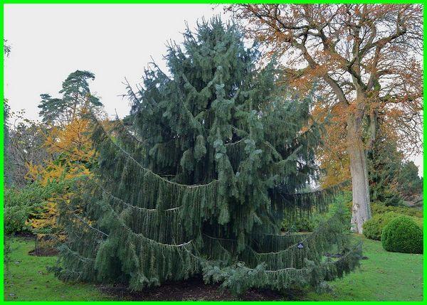 jenis pohon cemara dan gambarnya, ada berapa jenis pohon cemara, berbagai jenis pohon cemara, berapa jenis pohon cemara, contoh jenis jenis pohon cemara