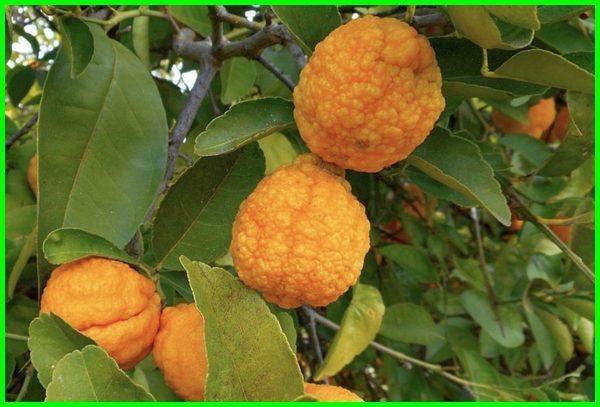jenis jenis jeruk lemon, jenis jeruk lemon impor,jenis jeruk lemon import, jenis jeruk lemon terbaik, jenis jeruk lemon tea, jenis jeruk lemon unggul, ada berapa jenis jeruk lemon