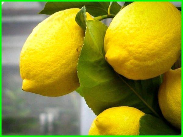 jenis jeruk lemon tea, jenis jeruk lemon unggul, ada berapa jenis jeruk lemon, jenis jenis jeruk lemon, jenis bibit jeruk lemon, jenis lemon terbaik